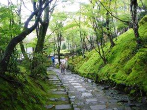 紅葉の名所、常寂光寺の楓はまだ緑。