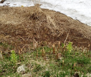 残雪の傍には、つくしが芽を出して。